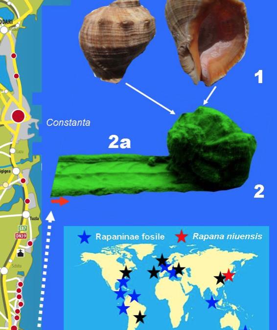 """Edupedu.ro: Cercetătorul geolog Titus Brustur: Gasteropodul Rapana, """"dușmanul"""" midiilor din Marea Neagră"""